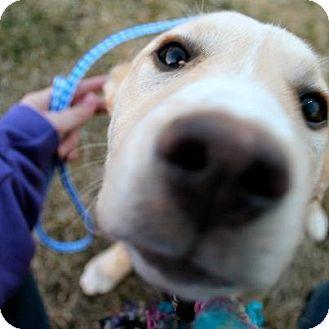 Labrador Retriever/Husky Mix Puppy for adoption in Garden City, Michigan - Lexi