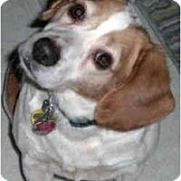 Adopt A Pet :: Almond - Novi, MI