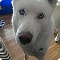 Adopt A Pet :: Naya - Elkhart, IN
