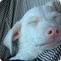 Adopt A Pet :: Falcor - Austin, TX