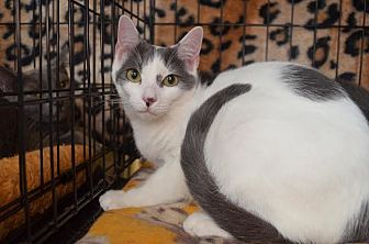 Domestic Shorthair Cat for adoption in Greenville, South Carolina - Jamie