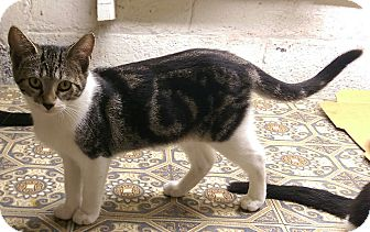 Domestic Shorthair Kitten for adoption in Berkeley Hts, New Jersey - Fiona