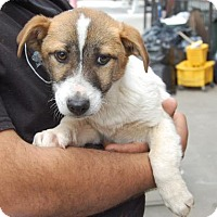 Adopt A Pet :: Boyka - Brooklyn, NY