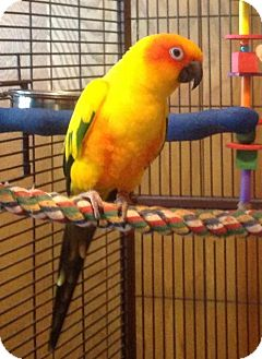 Conure for adoption in Plymouth, Minnesota - Mikko