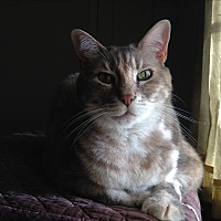 Adopt A Pet :: Sasha - St. Louis, MO