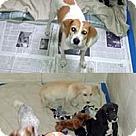 Adopt A Pet :: Molly Pup Levi