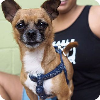 Chihuahua Mix Dog for adoption in Whitehall, Pennsylvania - Turks