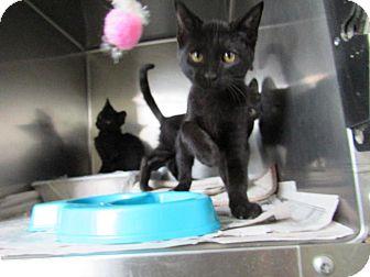 Domestic Shorthair Kitten for adoption in Windsor, Virginia - Chuckles