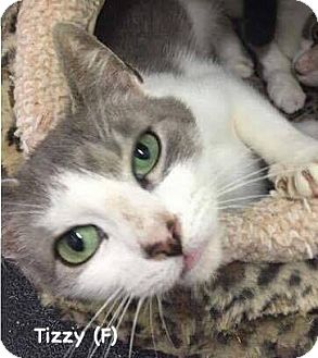 Domestic Shorthair Cat for adoption in West Orange, New Jersey - Tizzy