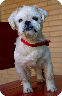 Shih Tzu Dog for adoption in Munster, Indiana - Bogart