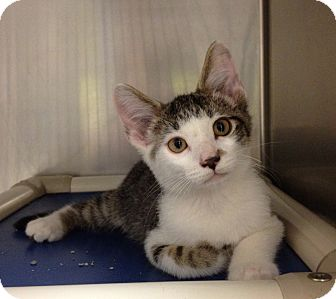 Domestic Shorthair Kitten for adoption in Triadelphia, West Virginia - H-8 A