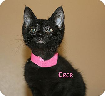 Domestic Shorthair Kitten for adoption in Idaho Falls, Idaho - Cece