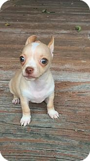 Dachshund Mix Puppy for adoption in Weston, Florida - Muse