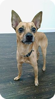 Chihuahua Mix Dog for adoption in Colmar, Pennsylvania - Waldo
