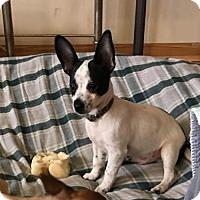 Adopt A Pet :: Hashi - Brooklyn Center, MN