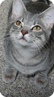 Domestic Shorthair Kitten for adoption in Columbus, Ohio - Cercei
