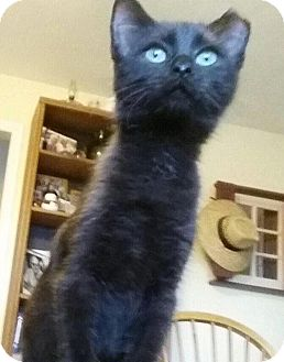 Domestic Shorthair Kitten for adoption in Danbury, Connecticut - Jade