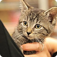 Domestic Shorthair Kitten for adoption in Memphis, Tennessee - Cranberry