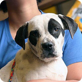 American Bulldog Mix Puppy for adoption in Palmdale, California - Olivia
