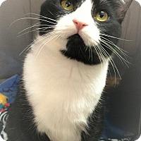 Domestic Shorthair Cat for adoption in Seattle, Washington - Harley