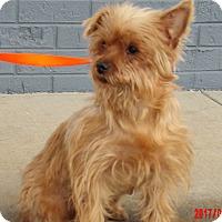 Adopt A Pet :: Goldie (10 lb) New Pics! - Niagara Falls, NY