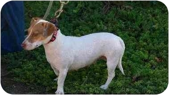 Jack Russell Terrier Dog for adoption in Newbury Park, California - Ruby
