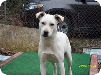 Labrador Retriever/Shepherd (Unknown Type) Mix Dog for adoption in Hohenwald, Tennessee - Babs