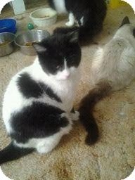 Domestic Shorthair Cat for adoption in Fairborn, Ohio - Cory-Cemetery Rescues