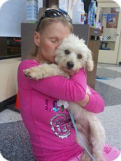 Bichon Frise/Poodle (Miniature) Mix Dog for adoption in Encinitas, California - Polo
