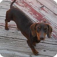 Adopt A Pet :: Archie - dewey, AZ