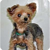 Adopt A Pet :: Irene - Port Washington, NY