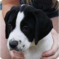 Adopt A Pet :: Dirk - Mesa, AZ