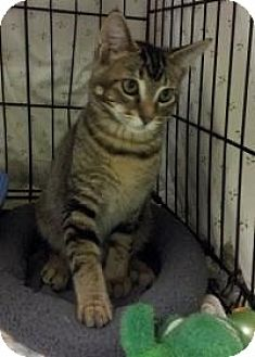 Domestic Shorthair Cat for adoption in Ringwood, Illinois - Jake