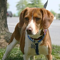 Beagle Mix Dog for adoption in Waldorf, Maryland - Peanut
