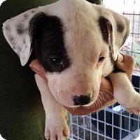 Adopt A Pet :: Serrano - Gainesville, FL
