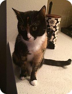 Calico Cat for adoption in Santa Monica, California - Boxy