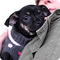 Adopt A Pet :: Espresso-Adopted!! - Detroit, MI