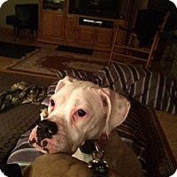 Adopt A Pet :: Angel - Woodinville, WA