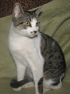 Domestic Shorthair Cat for adoption in Fort Walton Beach, Florida - Sharon