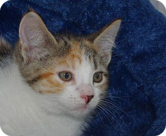 Calico Kitten for adoption in Longview, Washington - Maria