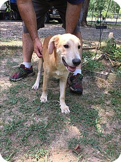 Australian Shepherd/Labrador Retriever Mix Puppy for adoption in Cranford, New Jersey - Griffon