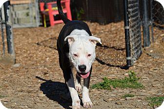 Pit Bull Terrier Mix Dog for adoption in Seattle, Washington - Karma
