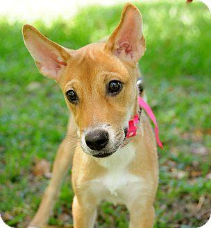 Terrier (Unknown Type, Medium) Mix Puppy for adoption in Surrey, British Columbia - Katie