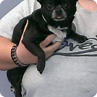 Chihuahua Mix Dog for adoption in Aurora, Illinois - Herb