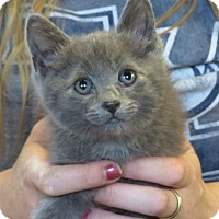Domestic Shorthair Kitten for adoption in Unionville, Pennsylvania - Jessie