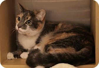 Calico Cat for adoption in Sacramento, California - Callie