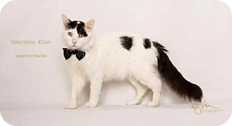 Turkish Van Cat for adoption in Westlake, California - VALENTINO - SANTA BARBARA