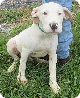 Terrier (Unknown Type, Medium)/Dalmatian Mix Puppy for adoption in Reeds Spring, Missouri - Diego