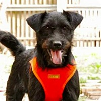 Terrier (Unknown Type, Medium)/Wirehaired Pointing Griffon Mix Dog for adoption in San Ramon, California - Toby