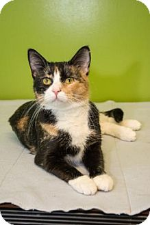Domestic Shorthair Cat for adoption in Neenah, Wisconsin - Amber